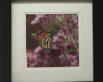 Framed Butterfly Photo