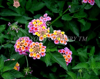 Instant Download Lantana Flower Photo Image, Nature in Bloom, Flower Garden Photography Digital Download, Printable itsyourcountry