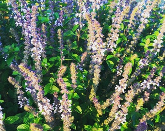 Blue Basil Seeds, Blue Spice Basil, Great for Container Gardens and Urban Gardening, Ornamental and Great for Pollinator Gardens