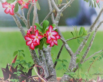 Desert Rose Flower / Pink Flower / MVMayoPhotography / Free US Shipping / 8x10