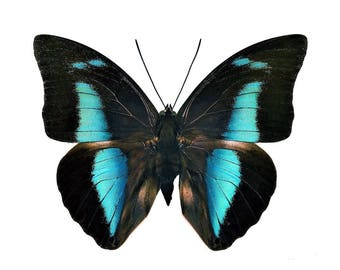 One Real Butterfly blue Archaeoprepona
