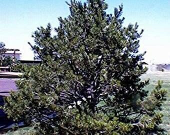 100 Pinyon Pine Tree Seeds, Pinus Cembroides Edulis