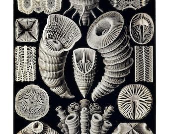 Ernst Haeckel's Vintage Artwork Tetracoralla