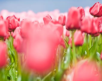 Soft Red Tulips with Pink and Blue
