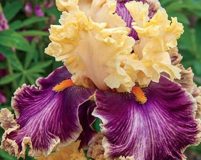 Decadence Iris Plant Potted - Apricot and Plum Flowers German Bearded Iris Grown Organic Non-GMO