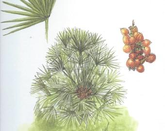 Vintage botanical print - Chamaerops Humilis L. - 29