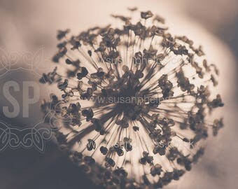 Seedhead Fine Art Photographic Print. Mounted 16 x 12 ready for you to frame.