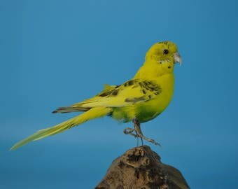 real bird taxidermy budgerigar,, birthday gift, gift,home decoration,free shipping to worldwide