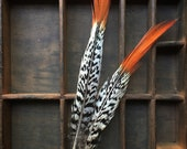Orange tipped Lady Amherst Feather...