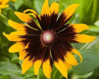Rudbeckia Hirta Solar Eclipse * Perennial!! 25 Seeds ... seeds galore