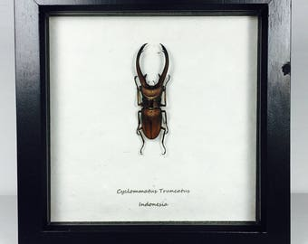 Framed Beetle Cyclommatus Truncatus Wooden Frame Real Insect Entomology Insect Art