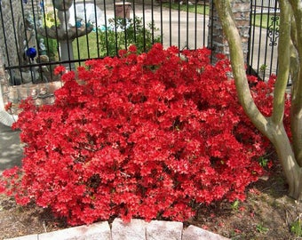 Azalea Midnight Flare plant Pint Plant