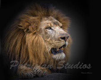 "African Lion ""Big Boy"""