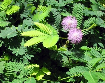 Mimosa pudica (Sensitive Plant) - 50 seeds. A novelty plant popular with children with feathery leaves which curl up when touched.