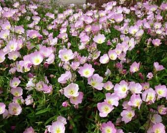 Primrose Seeds, Evening Primrose seeds, Pink Primrose Seeds