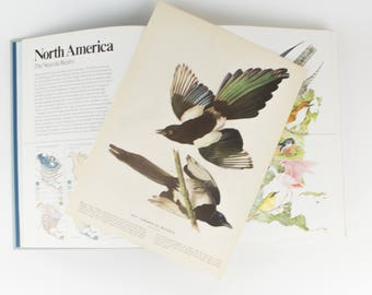 Vintage  Bird - Magpie -  Lithograph Print for Gallery Wall  -  1941 Audubon -  John James