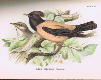 Rose-coloured Starling antique print 1896