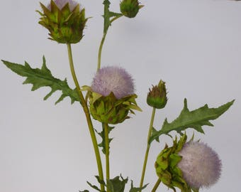 Giant thistle flower tinge of pink