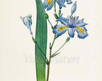 Fringed Iris Flower Art Print, Botanical Art Print, Japanese Iris Flower Wall Art, Butterfly Print, Redoute, blue, green, Iris fimbriata