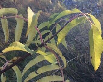 Elderberry Tincture, Sambucus nigra organic berries