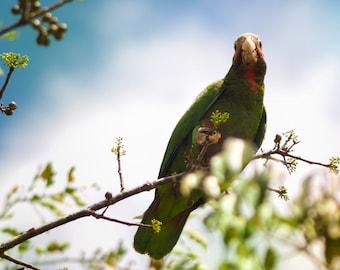 Bird Prints, Photography, Wildlife Photography, Grand Cayman Islands, Tropical Print, Blue Sky, Cuban Parrot
