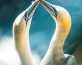 Gannets Blank Greetings C...