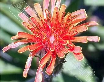 Red/Orange Colorado Dandelion - Macro Download
