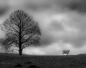 Lonely sheep above Cliviger, Lancashire (photograph)