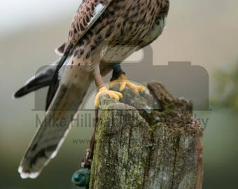 "Mounted Photographic Display Print - Kestrel #2 (A4 print in 14"" x 11"" Mount, Unframed)"