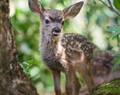 FAWN PHOTO Print, Baby An...