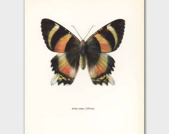 Monarch Butterfly Print (Tropical Wall Art, Home Office Decor) --- Indonesian Island Moth No. 80-2