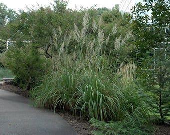 "Hardy Northern Pampas Raven Grass - Erianthus ravennae - 4"" Pot"