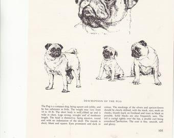 "Vintage 1963 Print Sketch Page Artist Bridget Olerenshaw  PUG Dog Breed Dog Art&Breed Information 7"" X 9.5"""