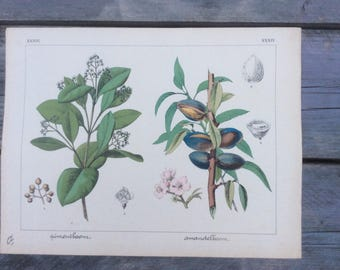 Old botanical  chromolithography 1876, Allspice and Almond