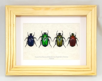 FREE SHIPPING Real Framed Flower Beetles Torynorrhina Flammea and Rhomborrhina Resplendens Chatanayi Taxidermy Mounted Spread A1