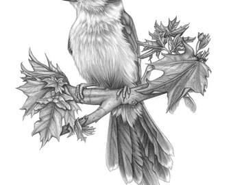 Whiskey Jack (Grey Jay Bird) Original Drawing -- by Melissa Crook