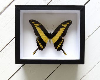 Real framed butterfly: Papilio thoas // shadowbox // yellow butterfly
