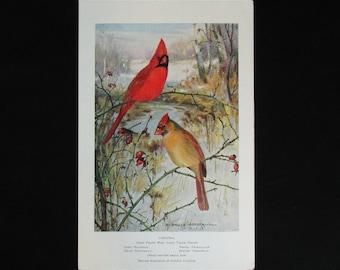Vintage Cardinal Bird Print and Educational Leaflet, Audubon Society