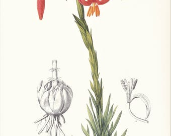 Red lily Lilium pomponium vintage botanical print Pierre-Joseph Redouté garden flower gift for gardener illustration 8.5 x 12 inches