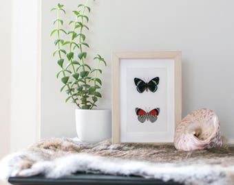 Real framed butterfly: Diaethria clymena // back & front // shadowbox