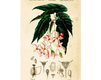 1861 Begonia by Ch. Orbigny Original Antique botanical Print Handcolored Pink Garden Flowers floral decor framing wall hanging