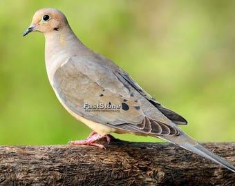 Mourning Dove, bird, nature, photo, print, nature photography, wall art, home decor, free shipping, song bird, metal, wildlife