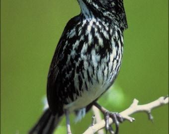 Poster, Many Sizes Available; Dusky Seaside Sparrow (Ammodramus Maritimus Nigrescens)