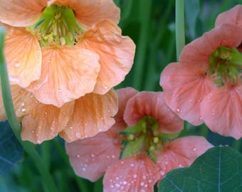 Nasturtium seeds Terry Bittock Flower Seeds from Ukraine #1272