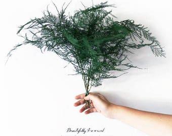 Preserved Plumosus Asparagus  Fern Bunch 6 Stems