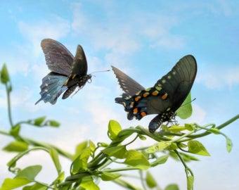 Tandem Butterflies