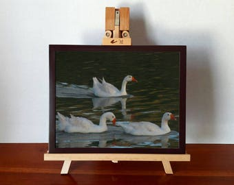 Photograph of geese, download digital, downloadable photography, white geese, geese swimming, nature, downloadable art and digital art.