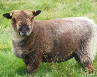 Coloured Ryeland Raw Fleece