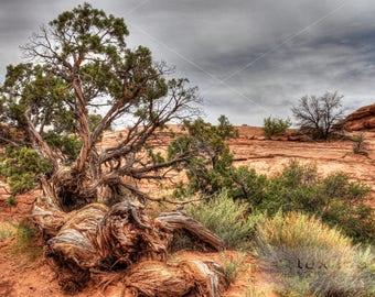 Twisted Juniper Tree in the Desert, Canyonlands National Park Utah, Landscape Print Photograph, Wall Decor