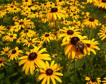 Black Eyed Susan perennial flowers 5 starts one low price FREE USA ship